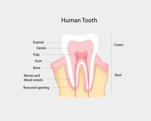 The Anatomy of Human Tooth