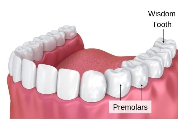 the functions of premolars